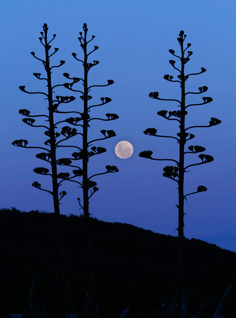 ARG100075S © Stocktrek Images, Inc. The moon rising between agave trees, Miramar, Argentina.