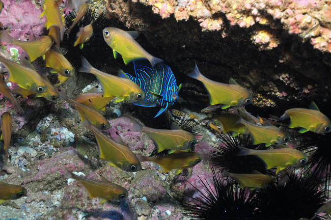 MME400001U © Stocktrek Images, Inc. Angelfish and cardinalfish under a rocky ledge.