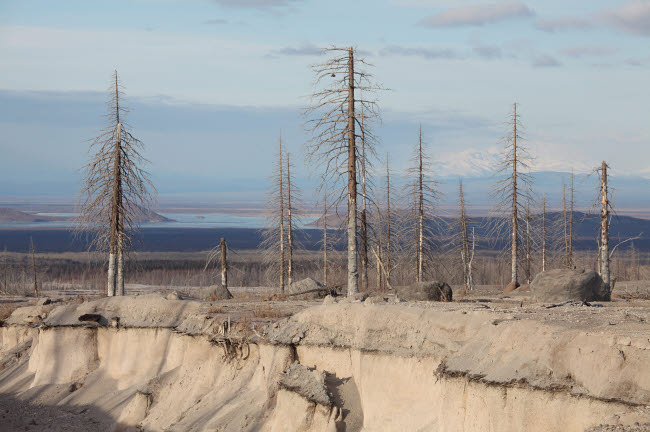 RRS300575S © Stocktrek Images, Inc. Dead trees beside erosion gulley revealing pyroclastic flow deposits.