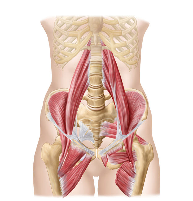 STK700588H © Stocktrek Images, Inc. Anatomy of iliopsoa, also known as the dorsal hip muscles.