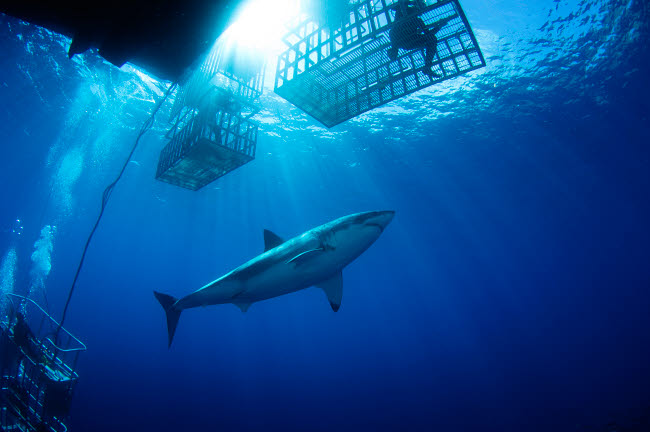 TSW400035U © Stocktrek Images, Inc. Female great white with cages, Guadalupe Island, Mexico.
