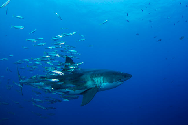TSW400092U © Stocktrek Images, Inc. Male great white shark and bait fish, Guadalupe Island, Mexico.