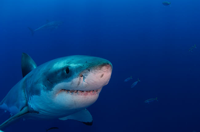 TSW400108U © Stocktrek Images, Inc. Great white shark, Guadalupe Island, Mexico.