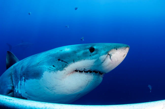 TSW400110U © Stocktrek Images, Inc. Great white shark, Guadalupe Island, Mexico.