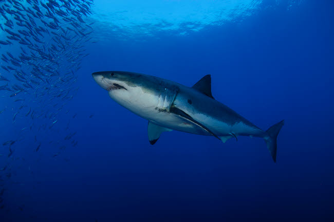 TSW400134U © Stocktrek Images, Inc. Female great white with remora, Guadalupe Island, Mexico.