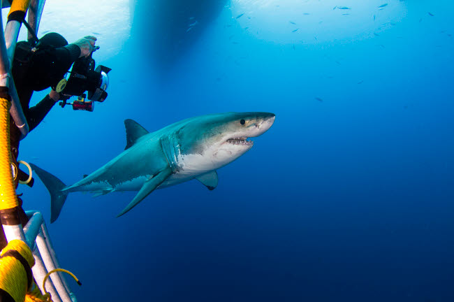 TSW400192U © Stocktrek Images, Inc. Photographer taking a picture of a male great white shark.