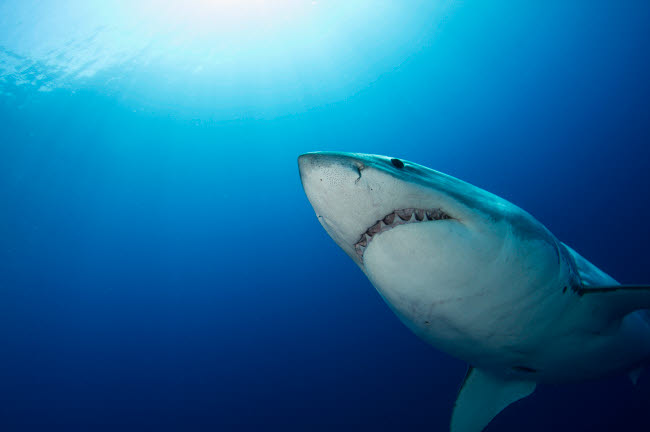 TSW400198U © Stocktrek Images, Inc. Male great white shark, Guadalupe Island, Mexico.