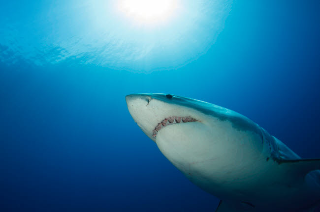 TSW400199U © Stocktrek Images, Inc. Male great white shark, Guadalupe Island, Mexico.