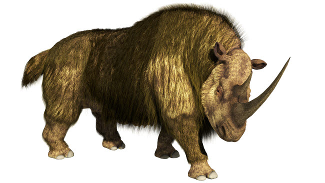 ADR600093P © Stocktrek Images, Inc. Woolly rhino on a white background stepping forward.