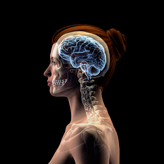 HAG700007H © Stocktrek Images, Inc. Profile of woman's head with skull and brain on a black background.