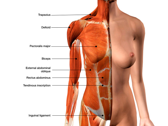 HAG700017H © Stocktrek Images, Inc. Female chest muscles with labels.