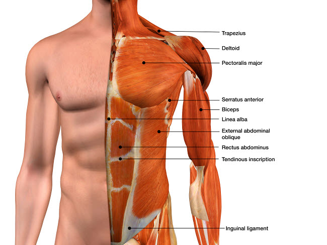 HAG700018H © Stocktrek Images, Inc. Male anterior thoracic wall chest muscles with labels.