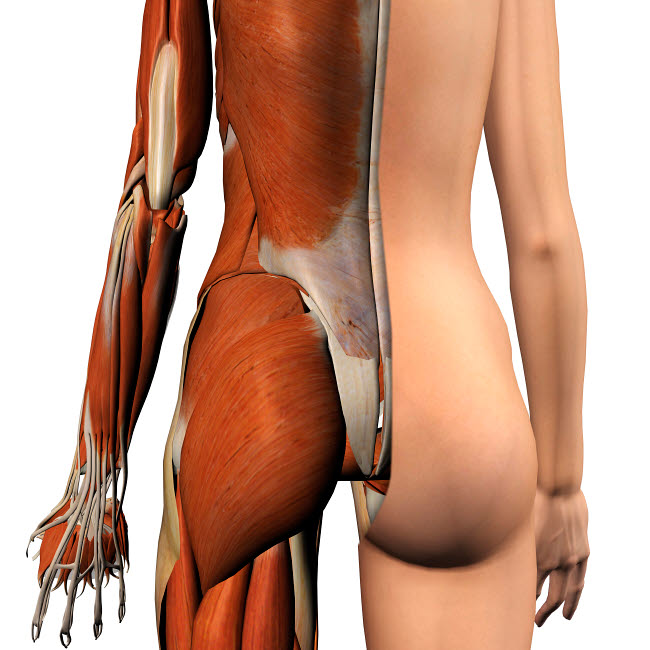 HAG700030H © Stocktrek Images, Inc. Female muscles, split skin layer, rear view on white bckground.
