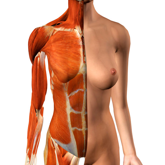 HAG700033H © Stocktrek Images, Inc. Female anterior thoracic wall chest muscles.