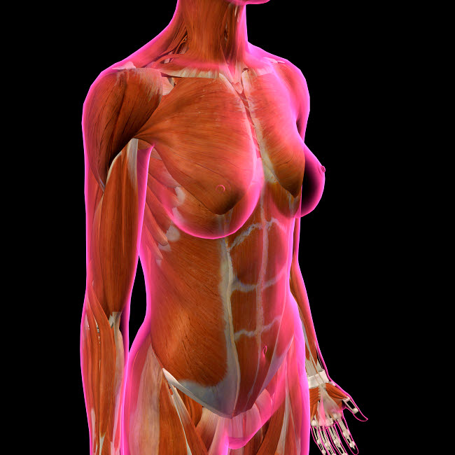 HAG700039H © Stocktrek Images, Inc. Female chest and abdomen muslces, pink x-ray view.