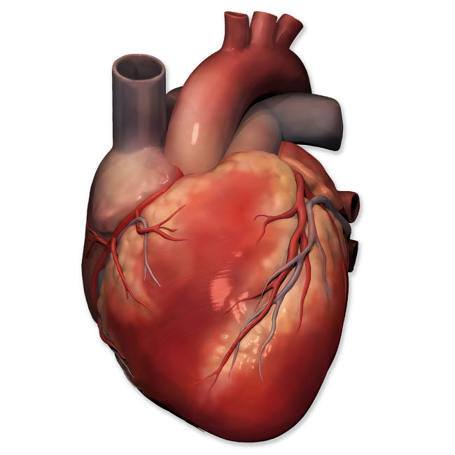 PHT700005H © Stocktrek Images, Inc. Anterior view of human heart anatomy.