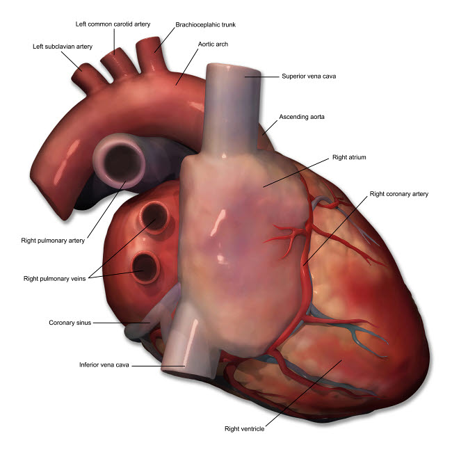 PHT700008H © Stocktrek Images, Inc. Right lateral view of human heart anatomy with annotations.