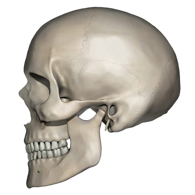 PHT700014H © Stocktrek Images, Inc. Lateral view of human skull anatomy.