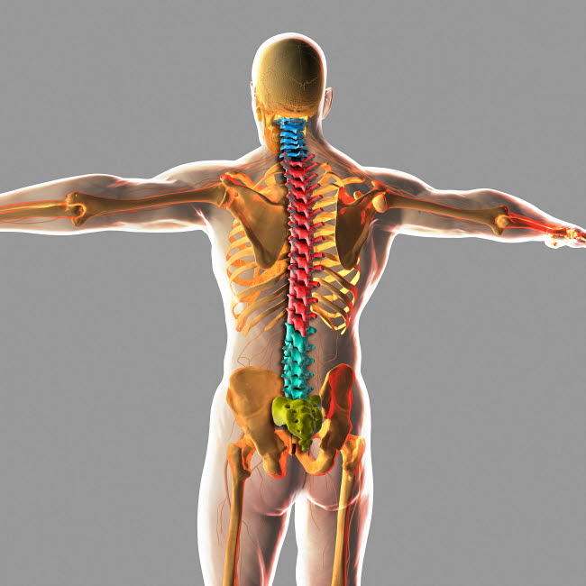 STK701071H © Stocktrek Images, Inc. Human spinal cord.