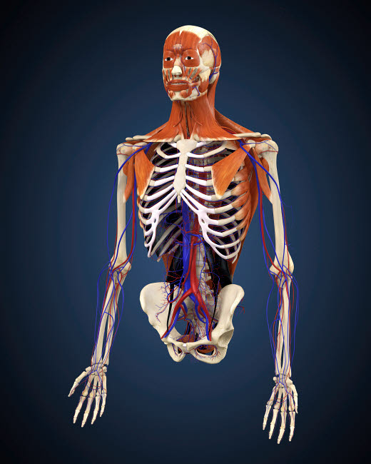 STK701073H © Stocktrek Images, Inc. Human upper body showing bones, muscles and circulatory system.