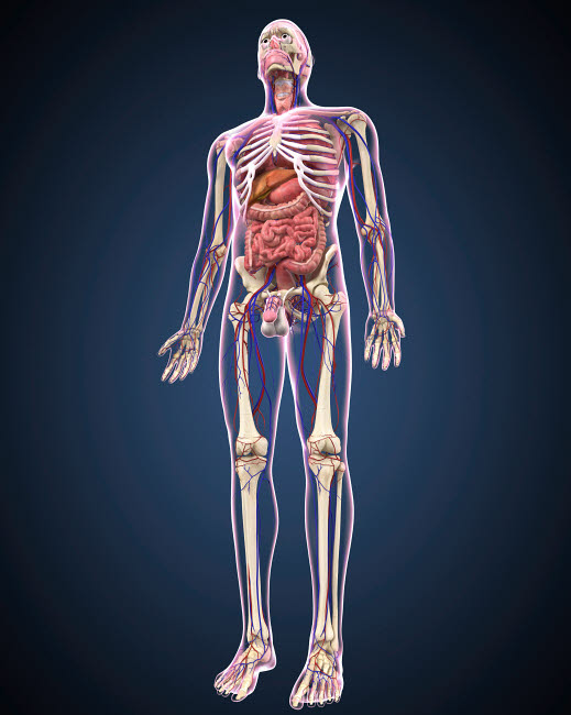 STK701080H © Stocktrek Images, Inc. Full length view of male human body with organs, arteries and veins.