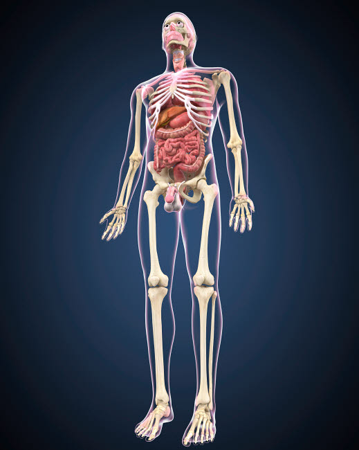 STK701081H © Stocktrek Images, Inc. Full length view of male human body with organs.