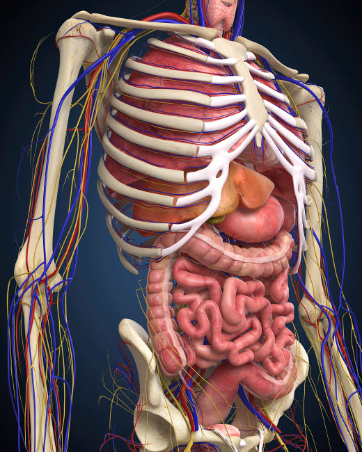 STK701082H © Stocktrek Images, Inc. Human midsection with internal organs.