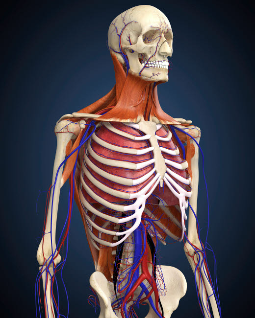 STK701083H © Stocktrek Images, Inc. Human upper body showing bones, lungs and circulatory system.