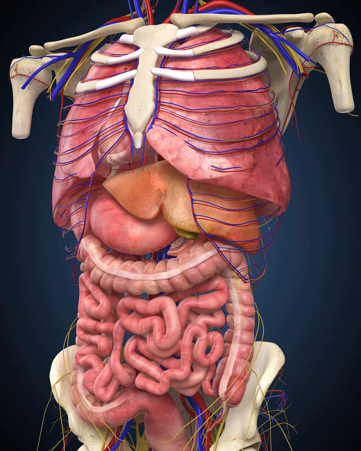STK701088H © Stocktrek Images, Inc. Midsection view showing internal organs of human body.