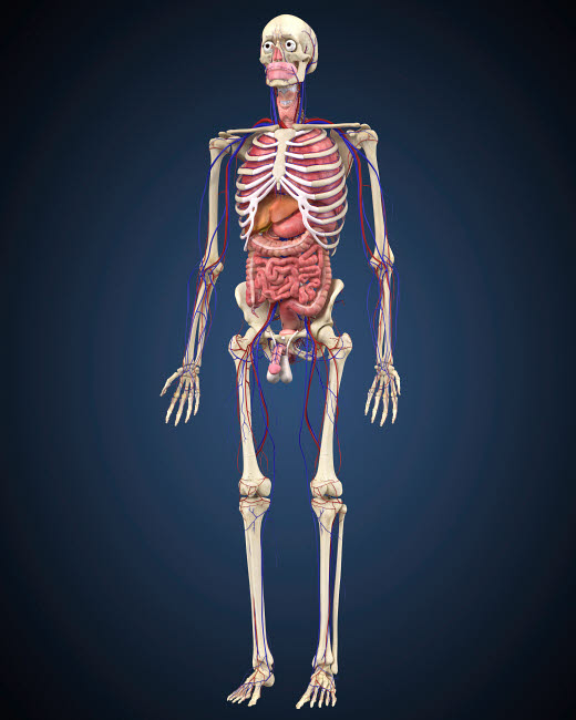 STK701089H © Stocktrek Images, Inc. Human skeleton with organs and circulatory system.