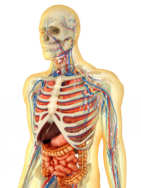 STK701093H © Stocktrek Images, Inc. Human body with internal organs, nervous system, lymphatic system and circulatory system.
