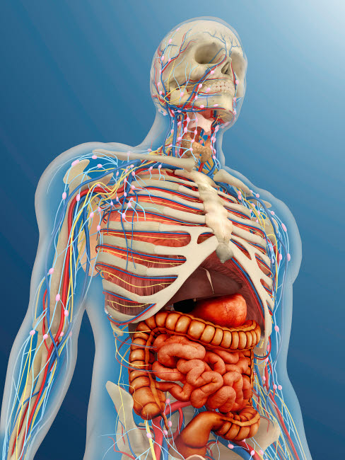 STK701095H © Stocktrek Images, Inc. Human body with internal organs, nervous system, lymphatic system and circulatory system.