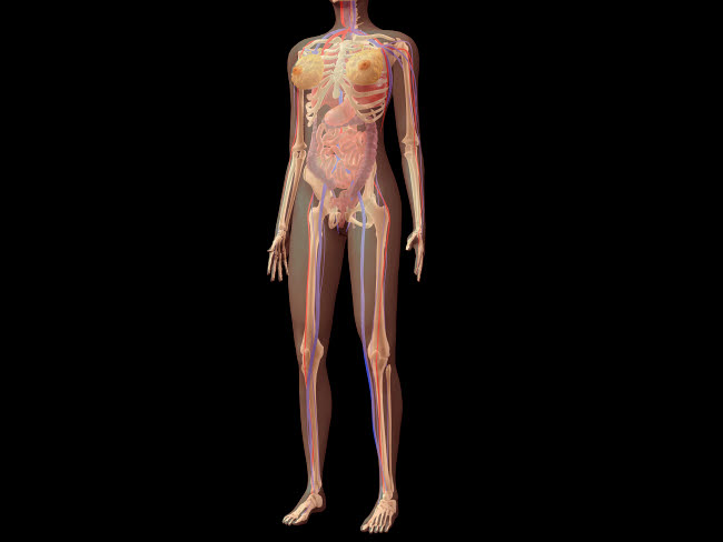 STK701116H © Stocktrek Images, Inc. Anatomy of female body with organs.