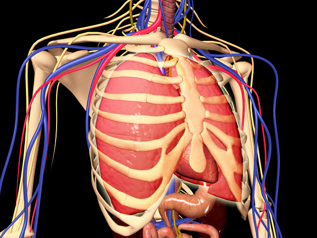STK701125H © Stocktrek Images, Inc. Human rib cage with lungs and nervous system.