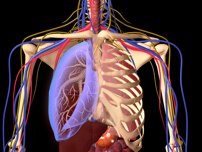 STK701132H © Stocktrek Images, Inc. Human skeleton showing a transparent lung with surrounding rib cage.