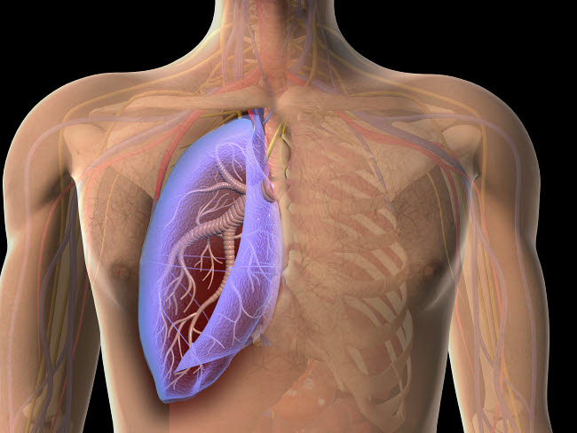 STK701133H © Stocktrek Images, Inc. Transparent view of human chest showing the lung.