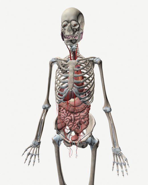 STK701135H © Stocktrek Images, Inc. Human skeletal system with organs of the digestive system visible.