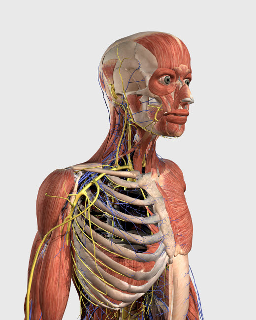 STK701144H © Stocktrek Images, Inc. Human upper body showing muscle parts, axial skeleton, veins and nerves.