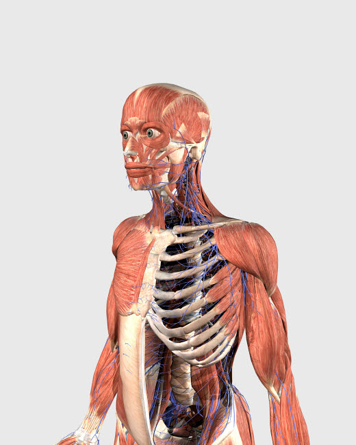 STK701145H © Stocktrek Images, Inc. Human upper body showing muscle parts, axial skeleton and veins.