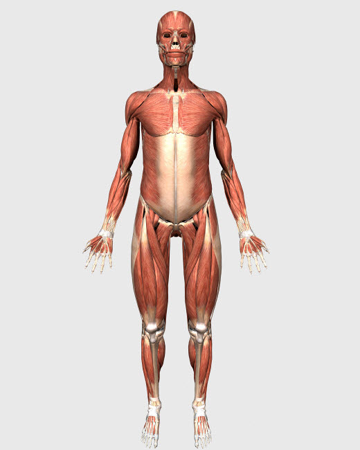 STK701146H © Stocktrek Images, Inc. Front view of human muscular system.