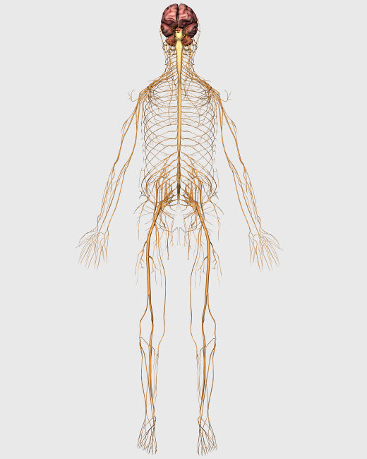 STK701148H © Stocktrek Images, Inc. Medical illustration of peripheral nervous system with brain.