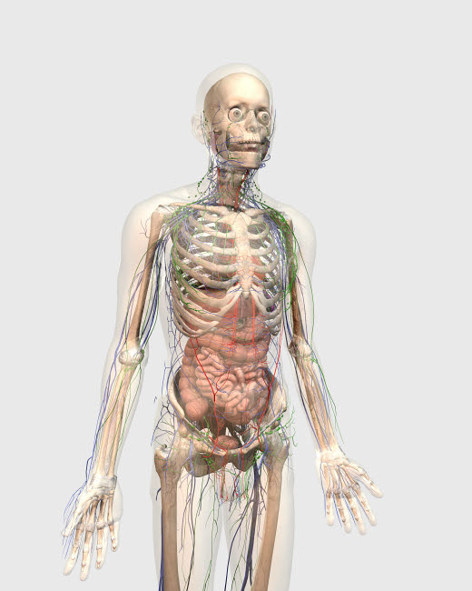 STK701149H © Stocktrek Images, Inc. Human body with internal organs, lymphatic system and circulatory system.