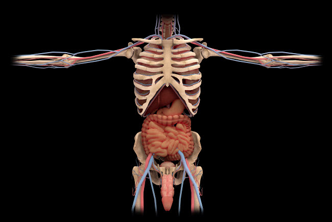 STK701161H © Stocktrek Images, Inc. 3D rendering of digestive system and male reproductive system.