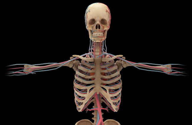 STK701165H © Stocktrek Images, Inc. 3D rendering of human circulatory system from the waist up.