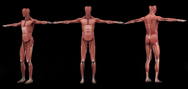 STK701170H © Stocktrek Images, Inc. 3D rendering of male muscular system at different angles.