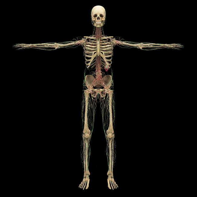 STK701174H © Stocktrek Images, Inc. 3D rendering of human lymphatic system with skeleton.