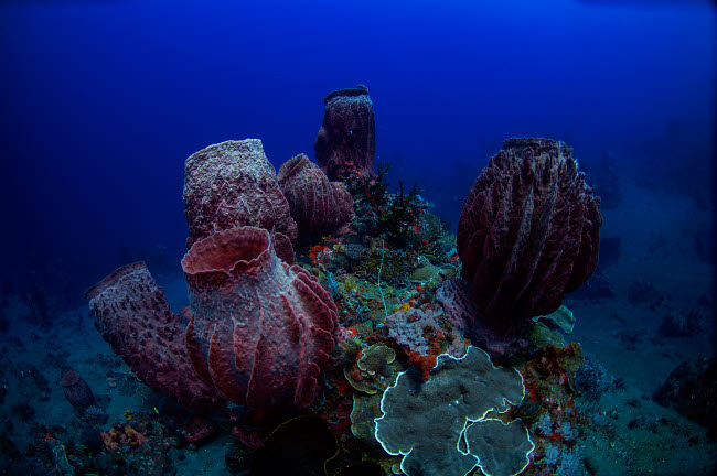 AAW400019U © Stocktrek Images, Inc. Group of barrel sponge in the deep reefs of the Banda Sea, Indonesia