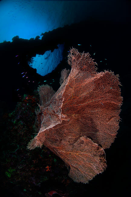 AAW400022U © Stocktrek Images, Inc. Sea fan on the reef in Banda Sea, Indonesia.