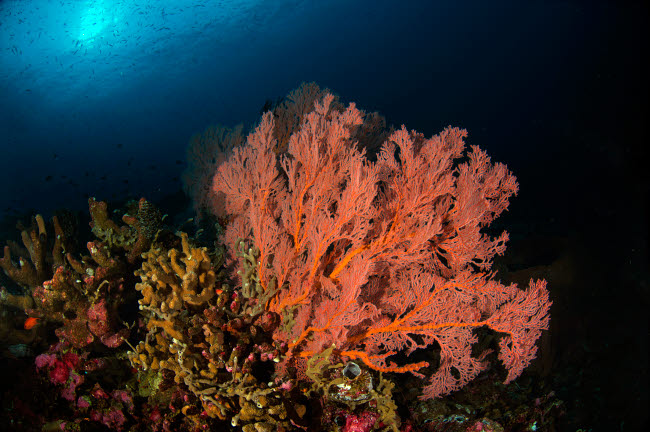 AAW400026U © Stocktrek Images, Inc. Sea fan on colorful reefs with sunburst in background. Komodo, Indonesia