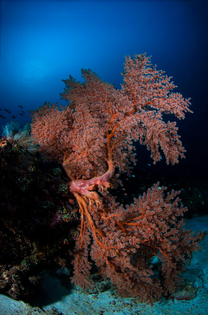 AAW400028U © Stocktrek Images, Inc. Sea fan on the colorful reefs of Komodo, Indonesia.